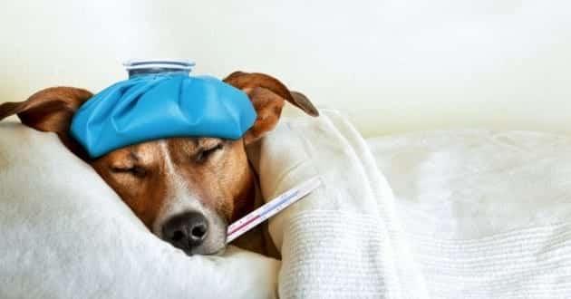 ibuprofene chien malade