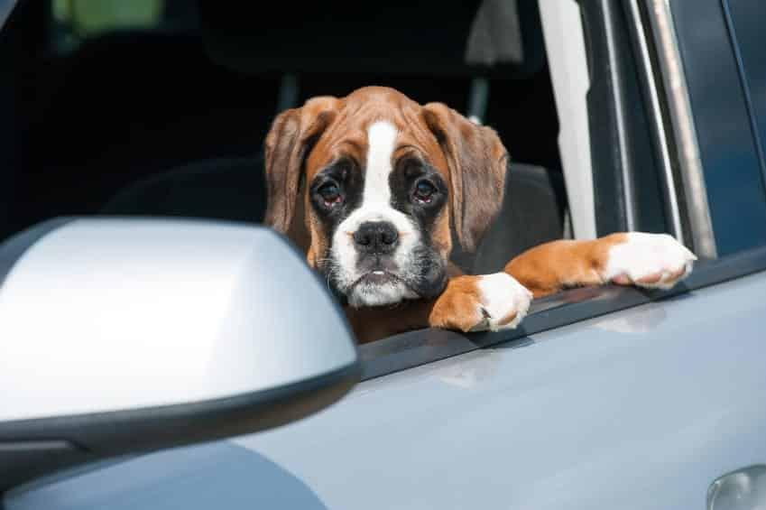 gravol chien malade en voiture