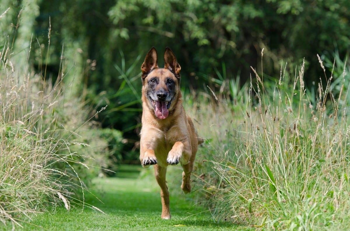 chien court pour traverser la route