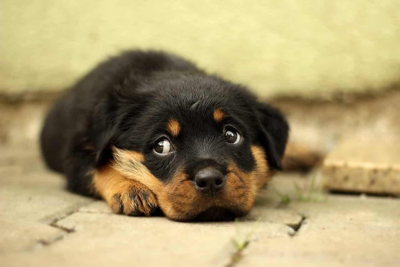 epilespie-chien