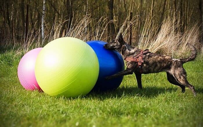 treiball chien