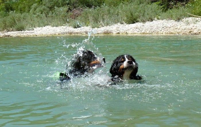 apprendre chien nager