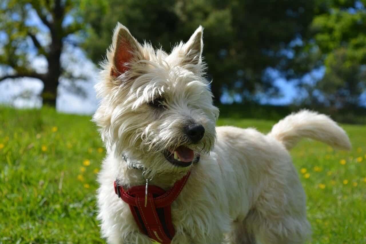 chien Cairn Terrier