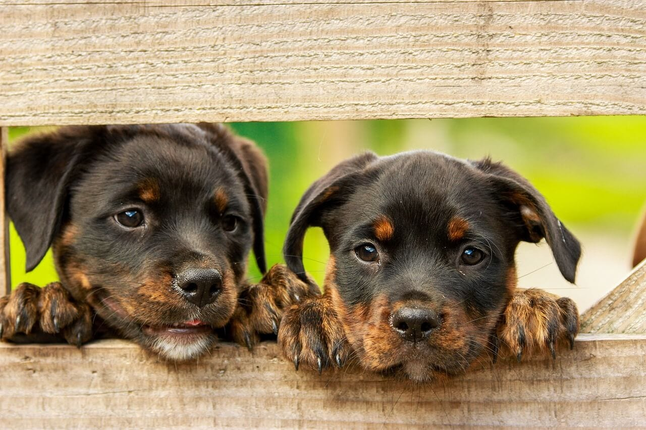 deux Rottweiler