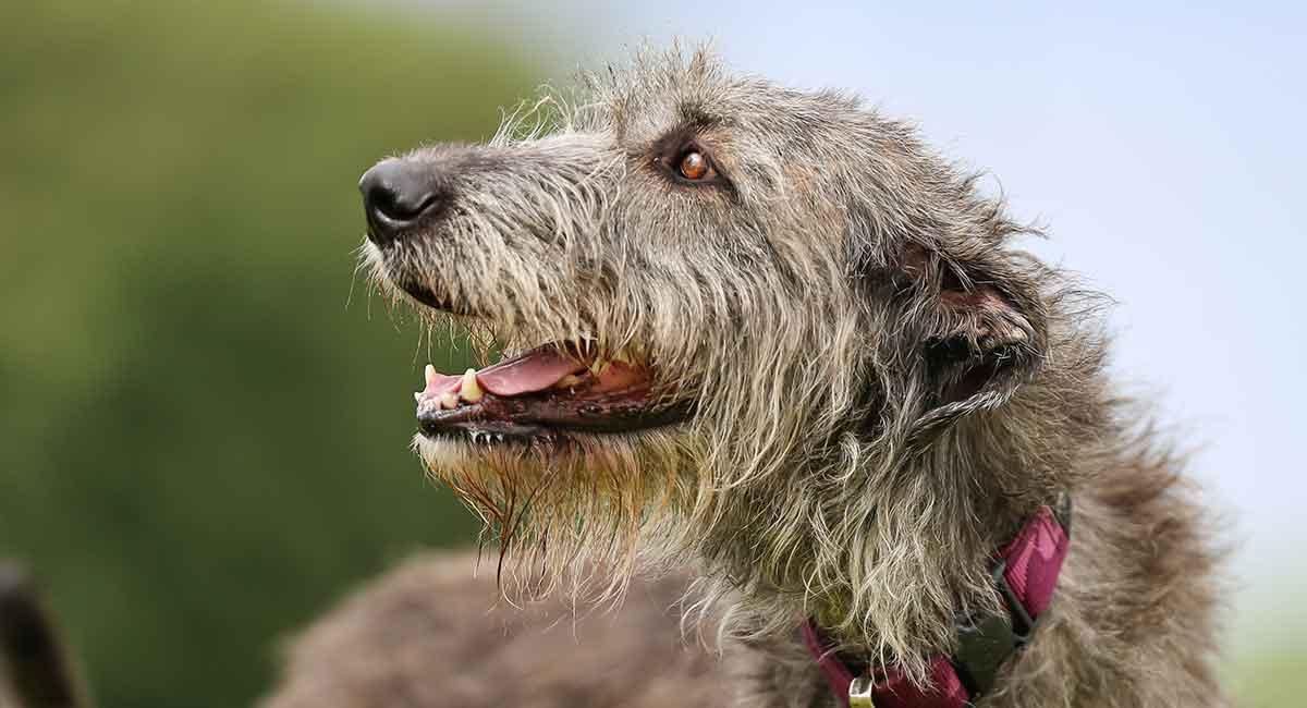 Irish Wolfhound Infos Conseils Avis Tout Savoir Sur Cette Race
