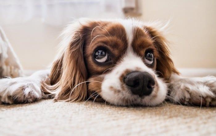 un chien qui a la diarrhée