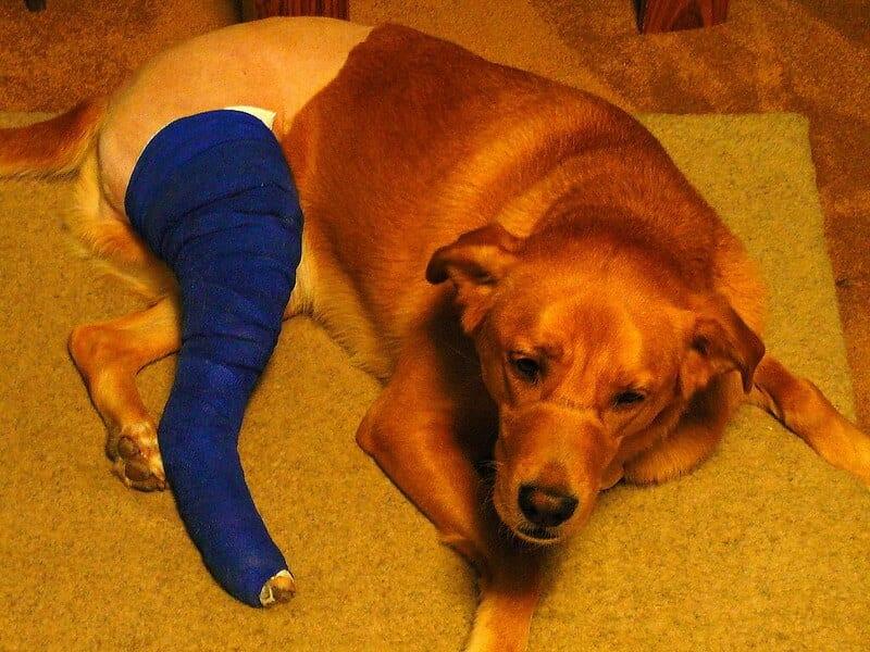 fracture du chien