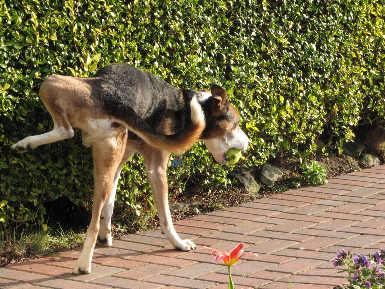 urgence urinaire chien