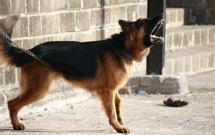 chien qui aboient le plus