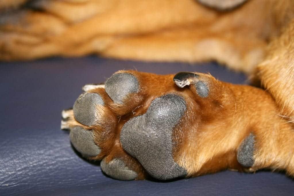 coussinet chien