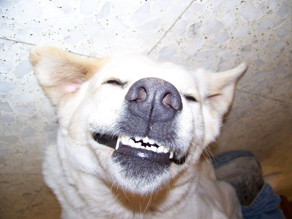 maladie parodontale chien