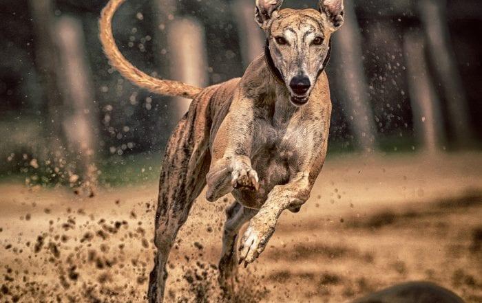 un chien greyhound