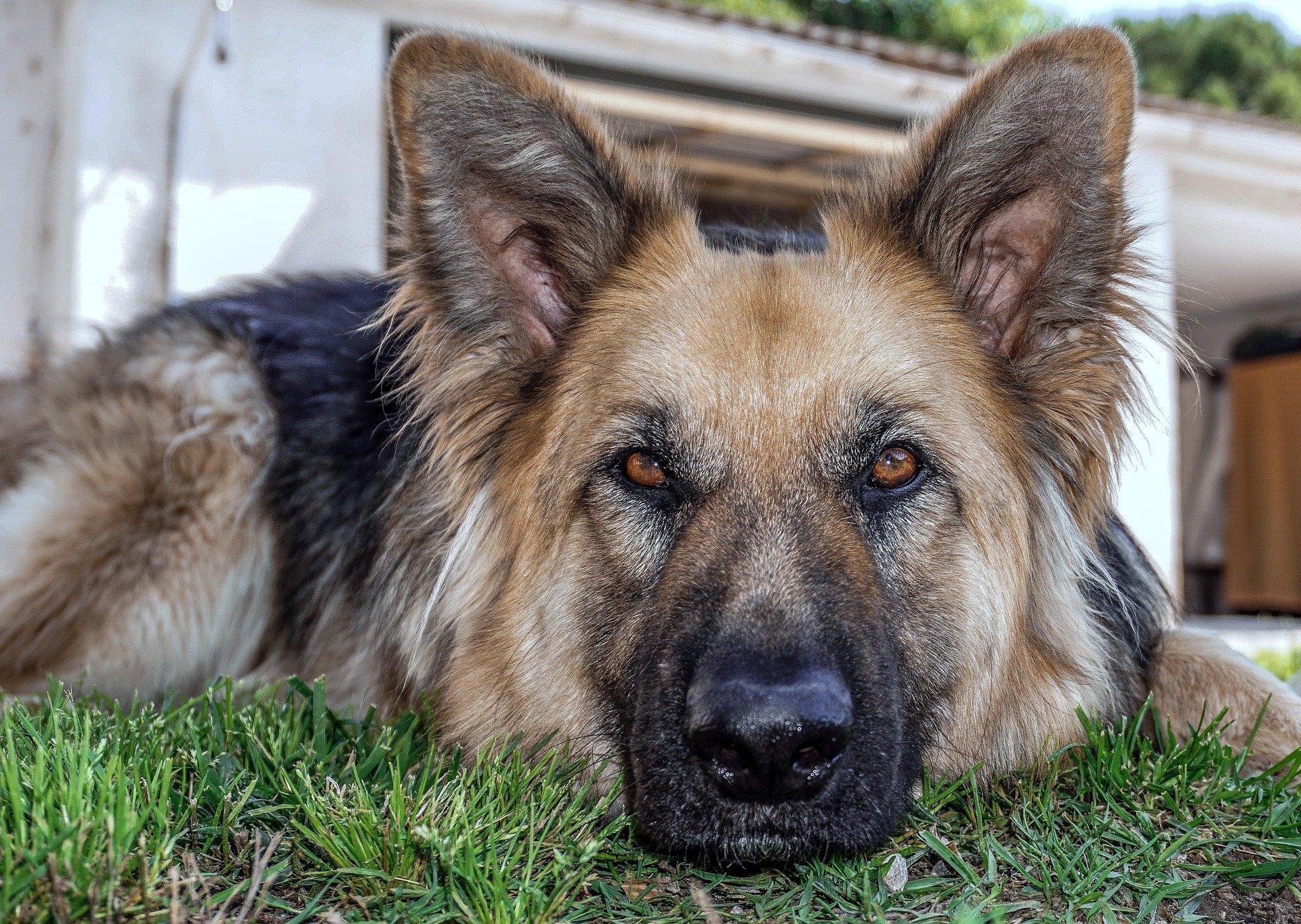 dysplasie chien