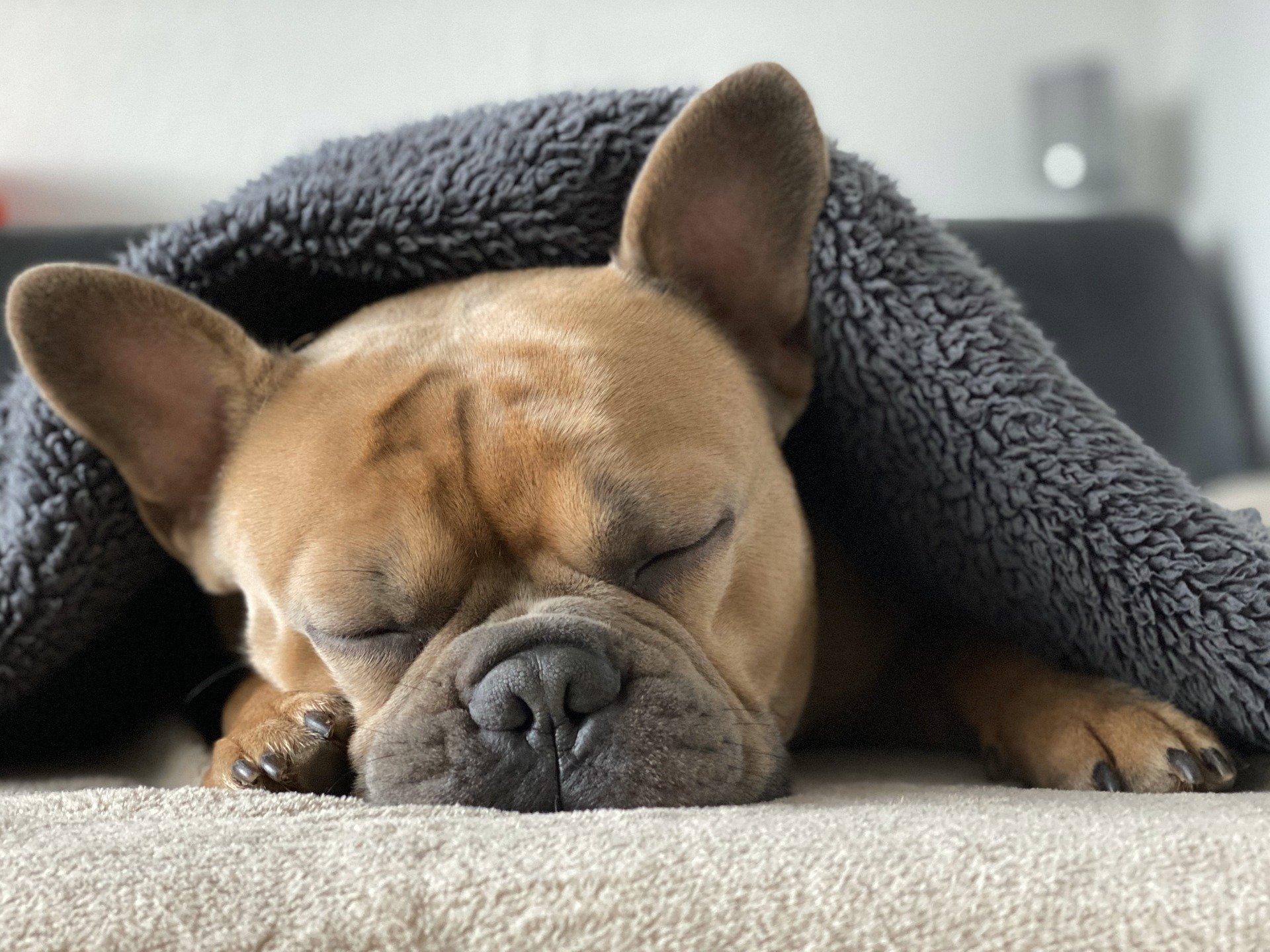 un chien qui rêve