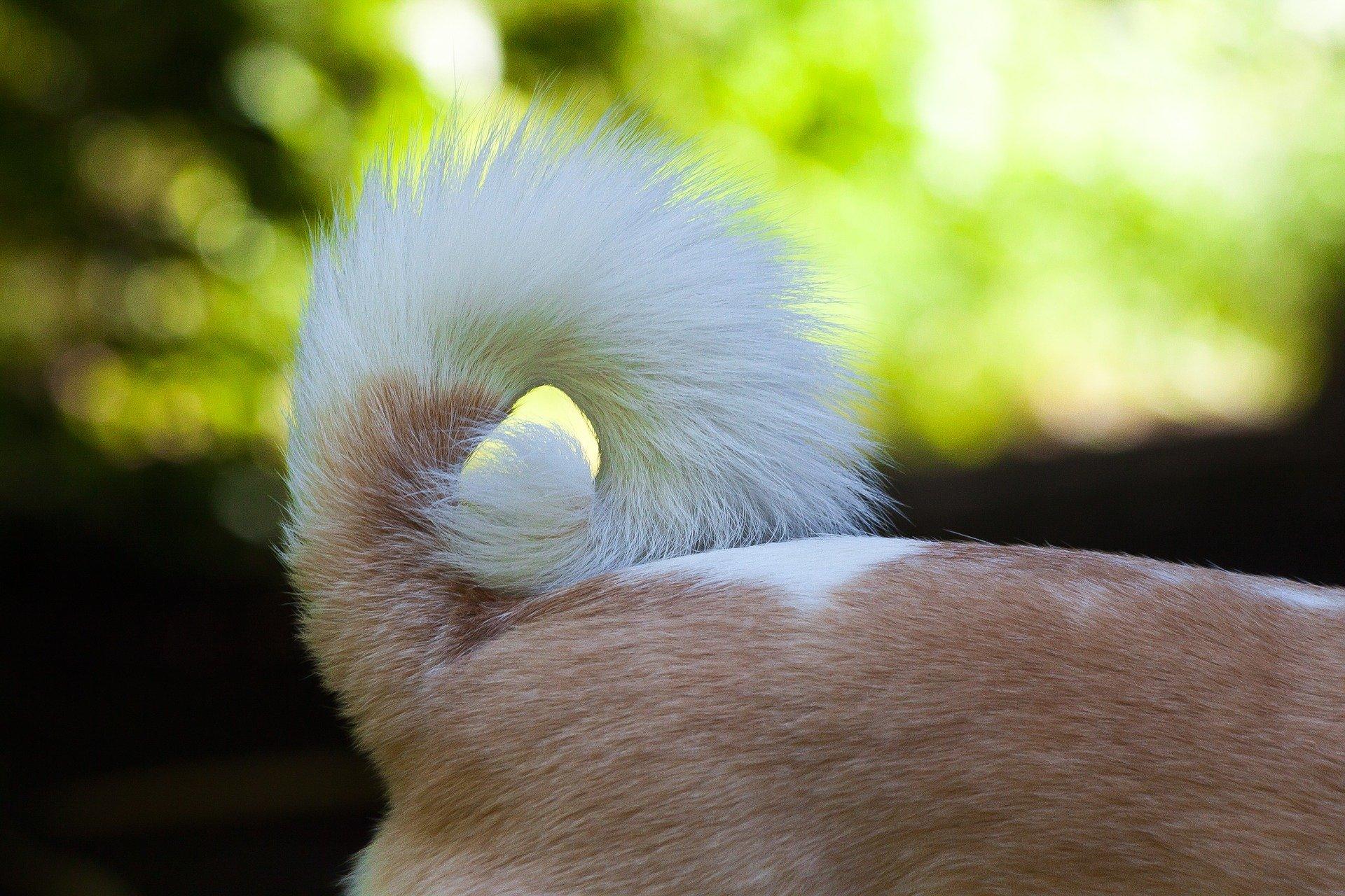 blessure queue chien