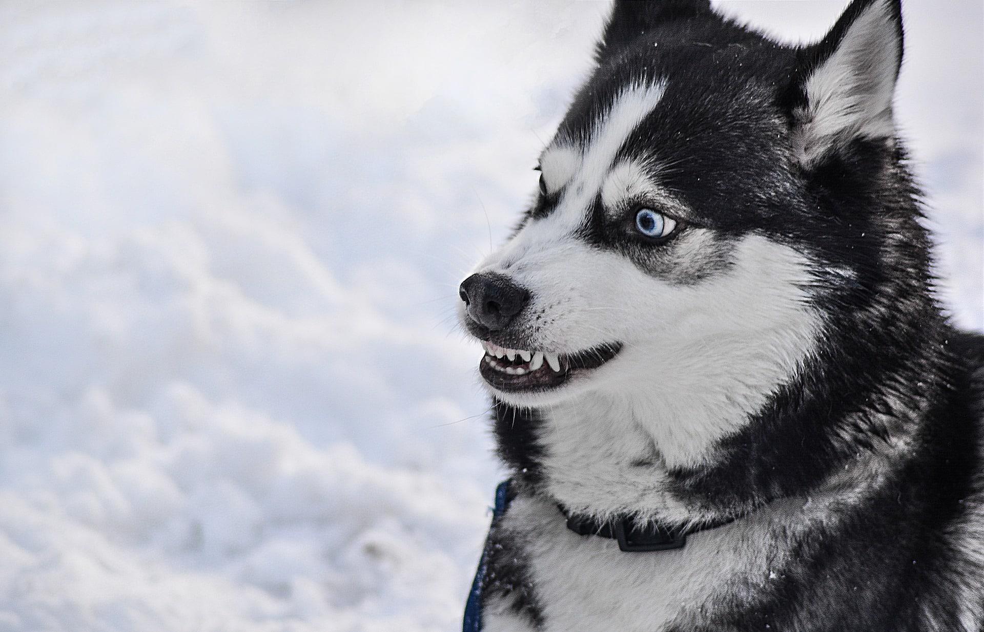 chien qui claque des dents