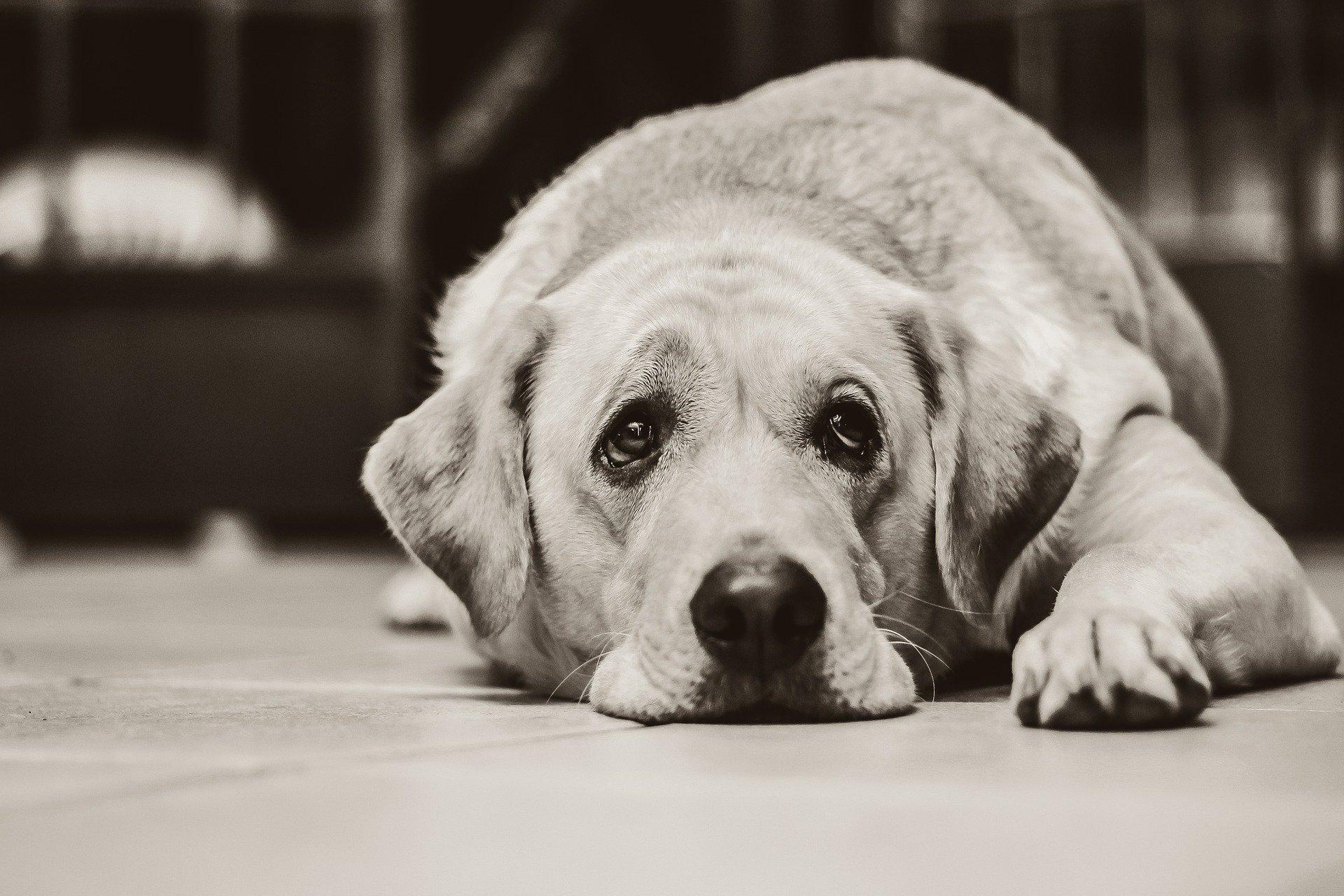 larmes chien