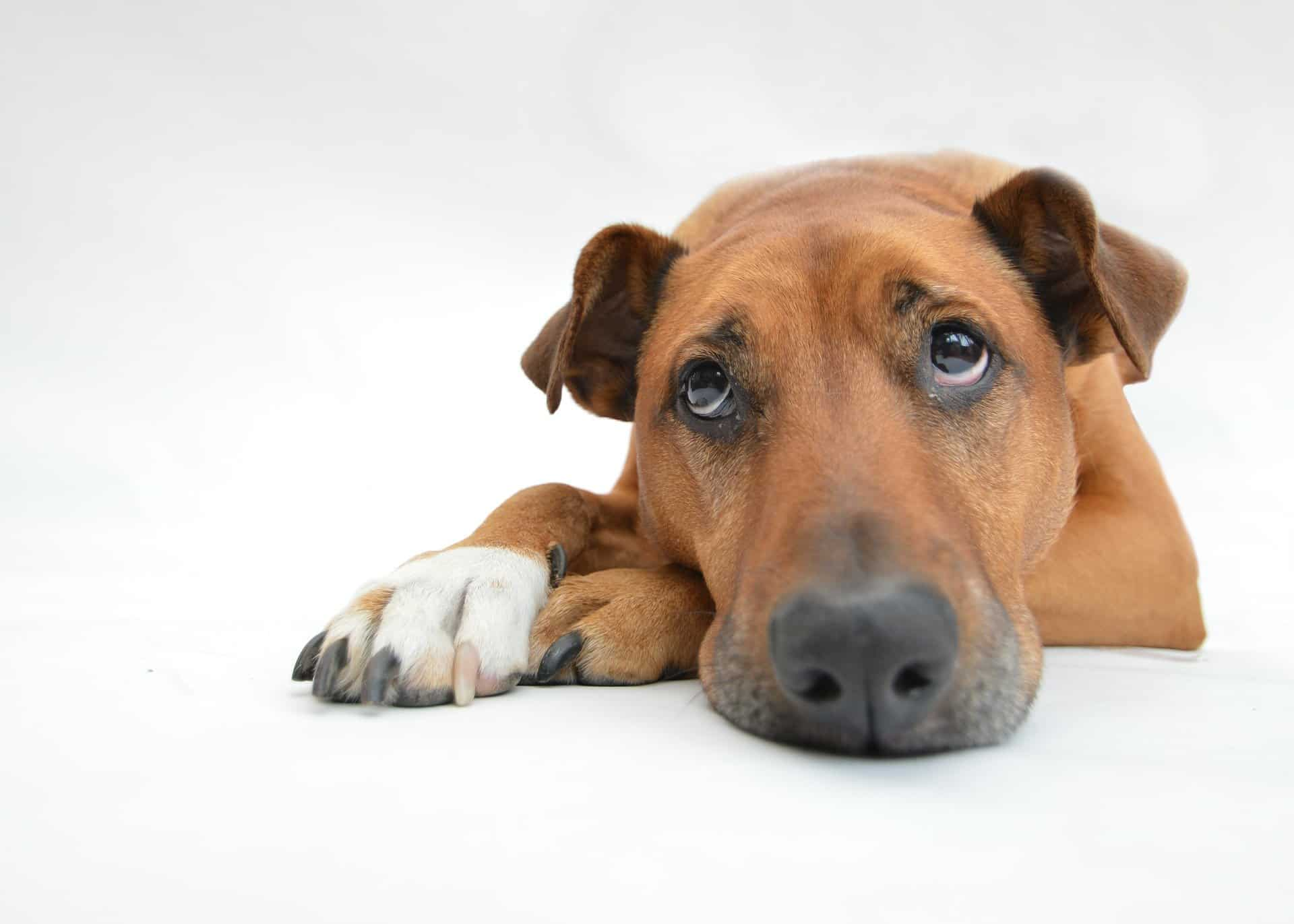 neuropathie chien