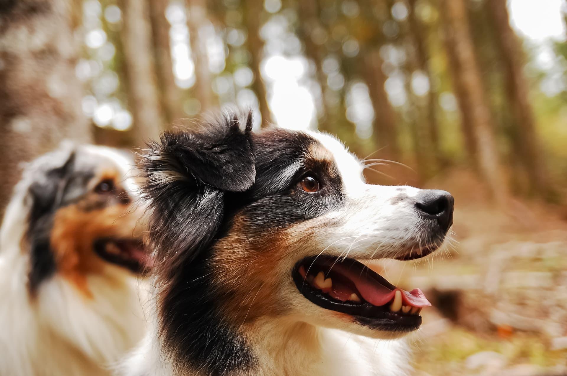 conjonctivite chien