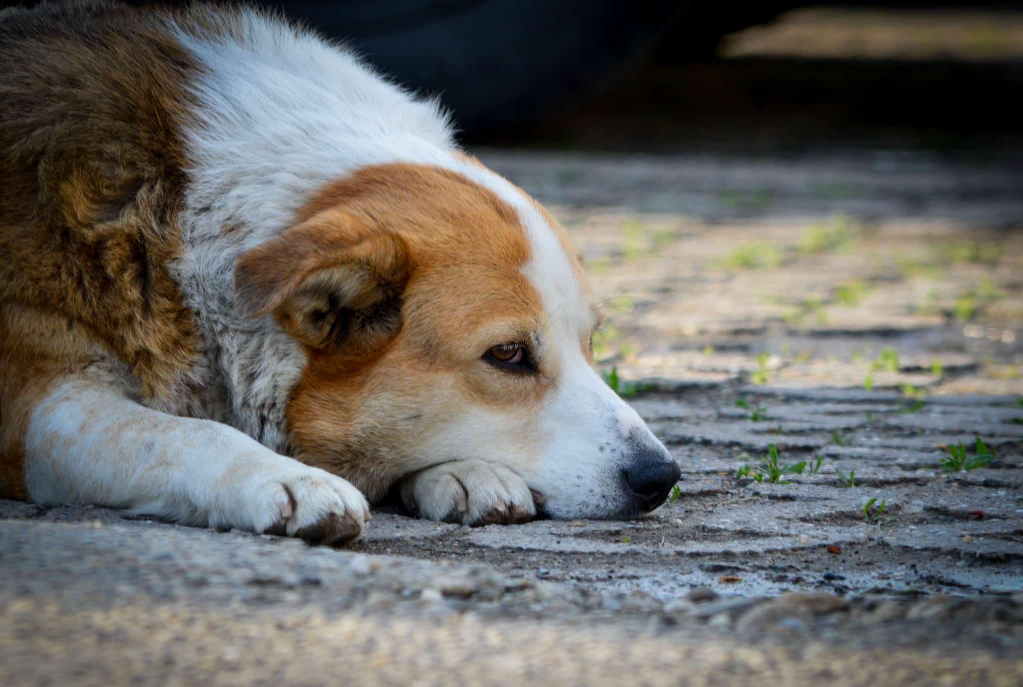 leucémie du chien