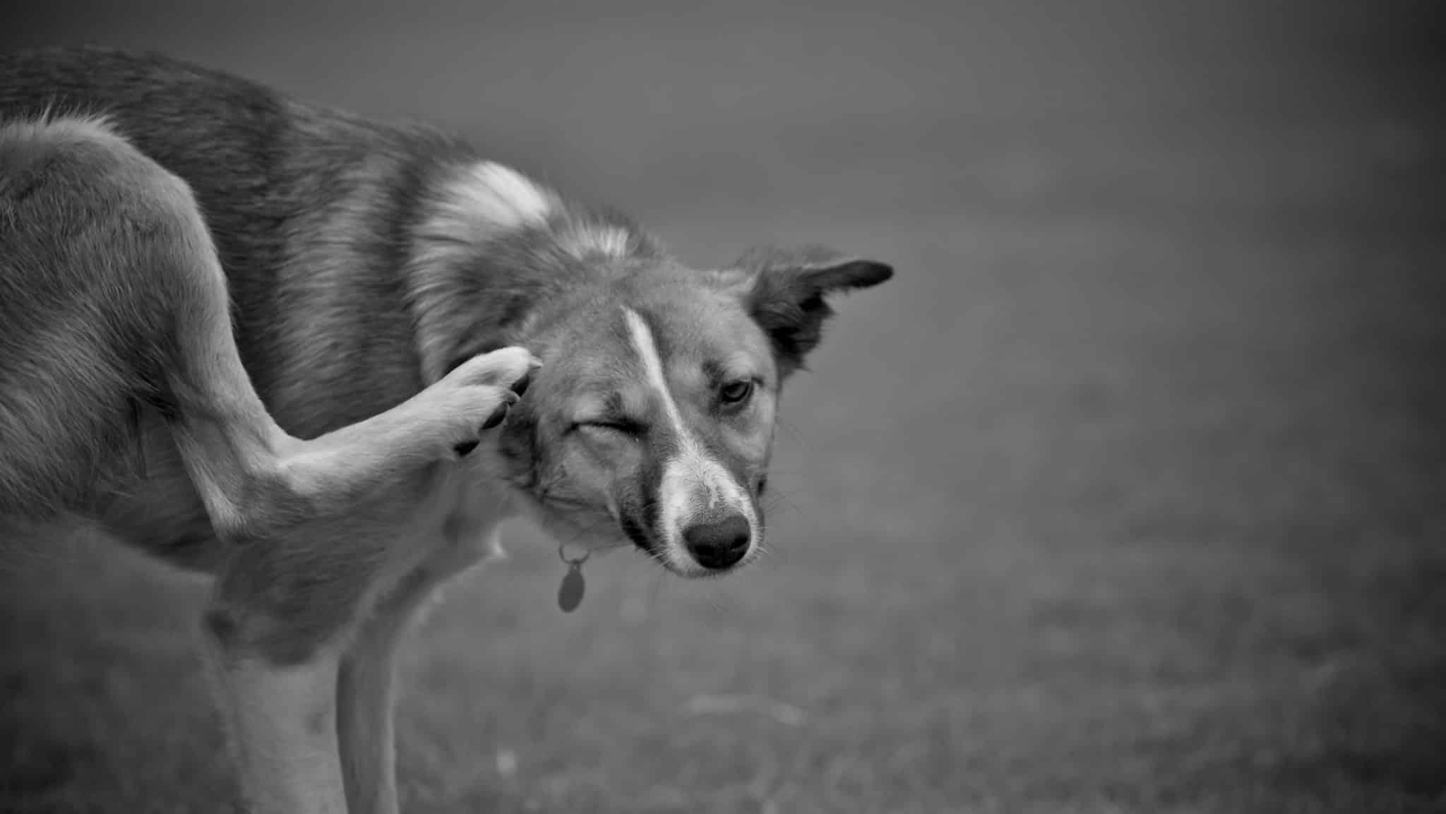 pelade du chien
