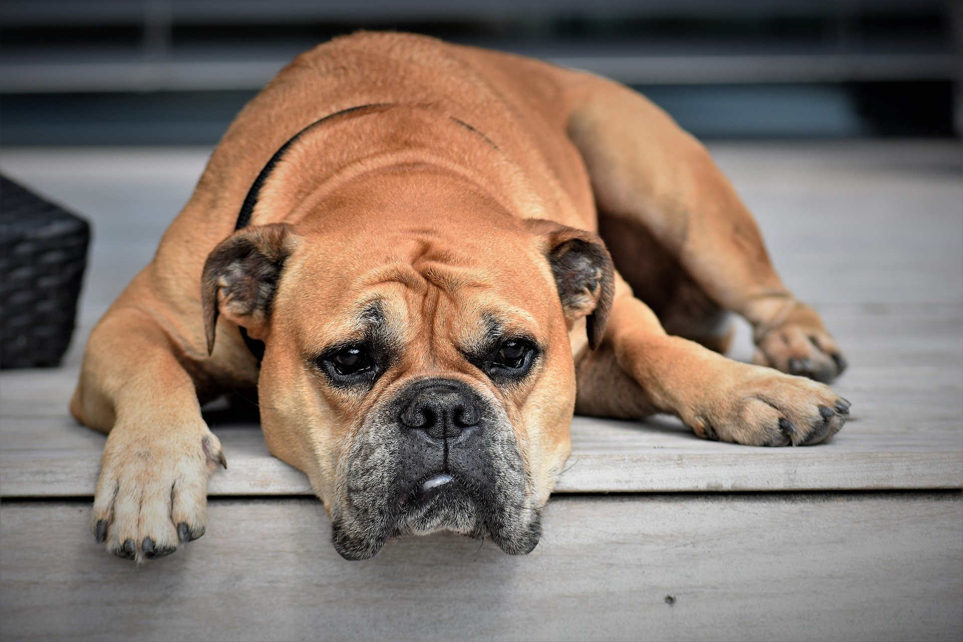 tumeur du chien