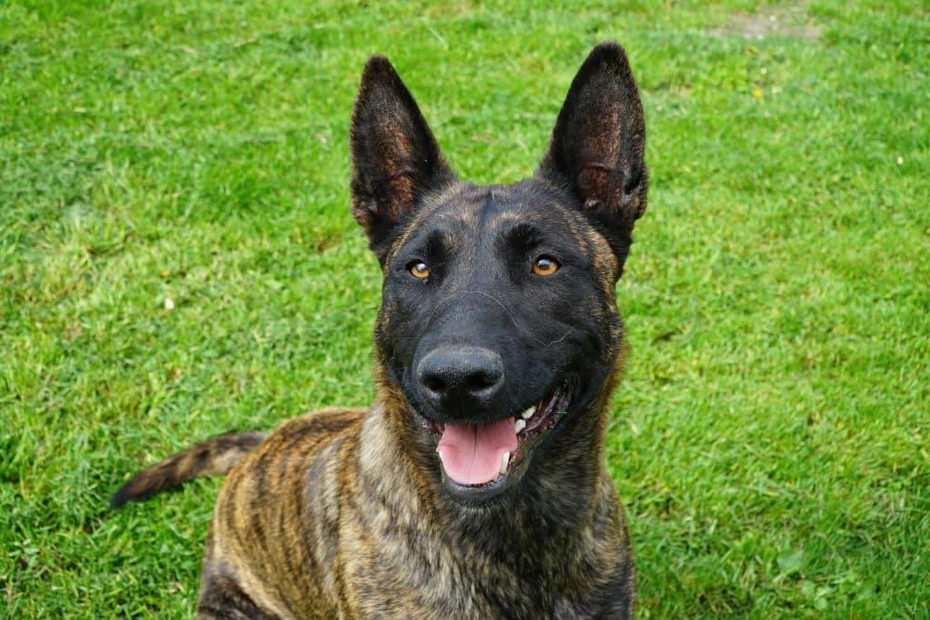 un chien Berger Hollandais