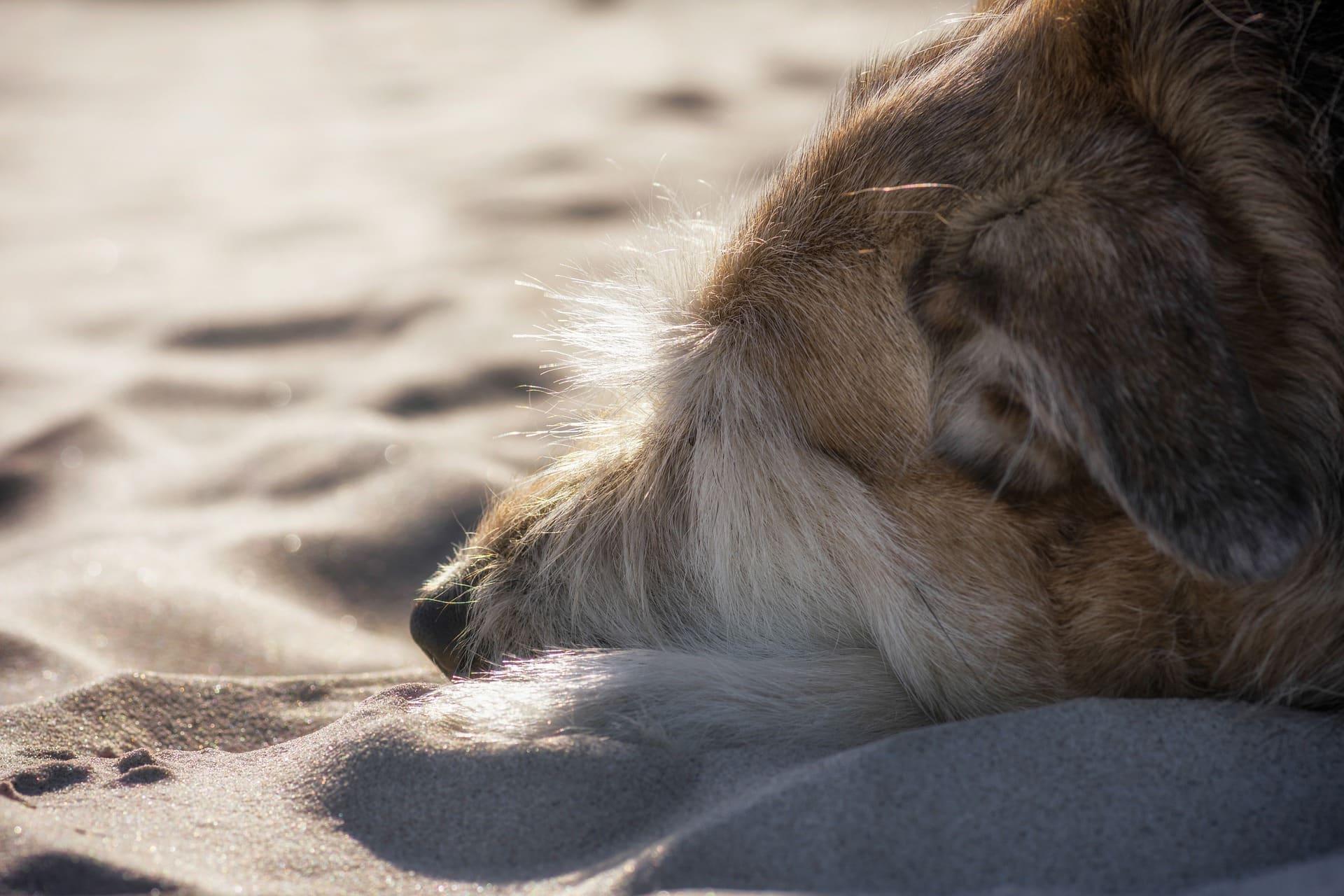 L'hypothyroïdie du chien
