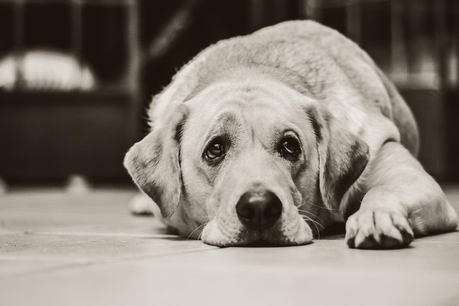 toux du chenil du chien