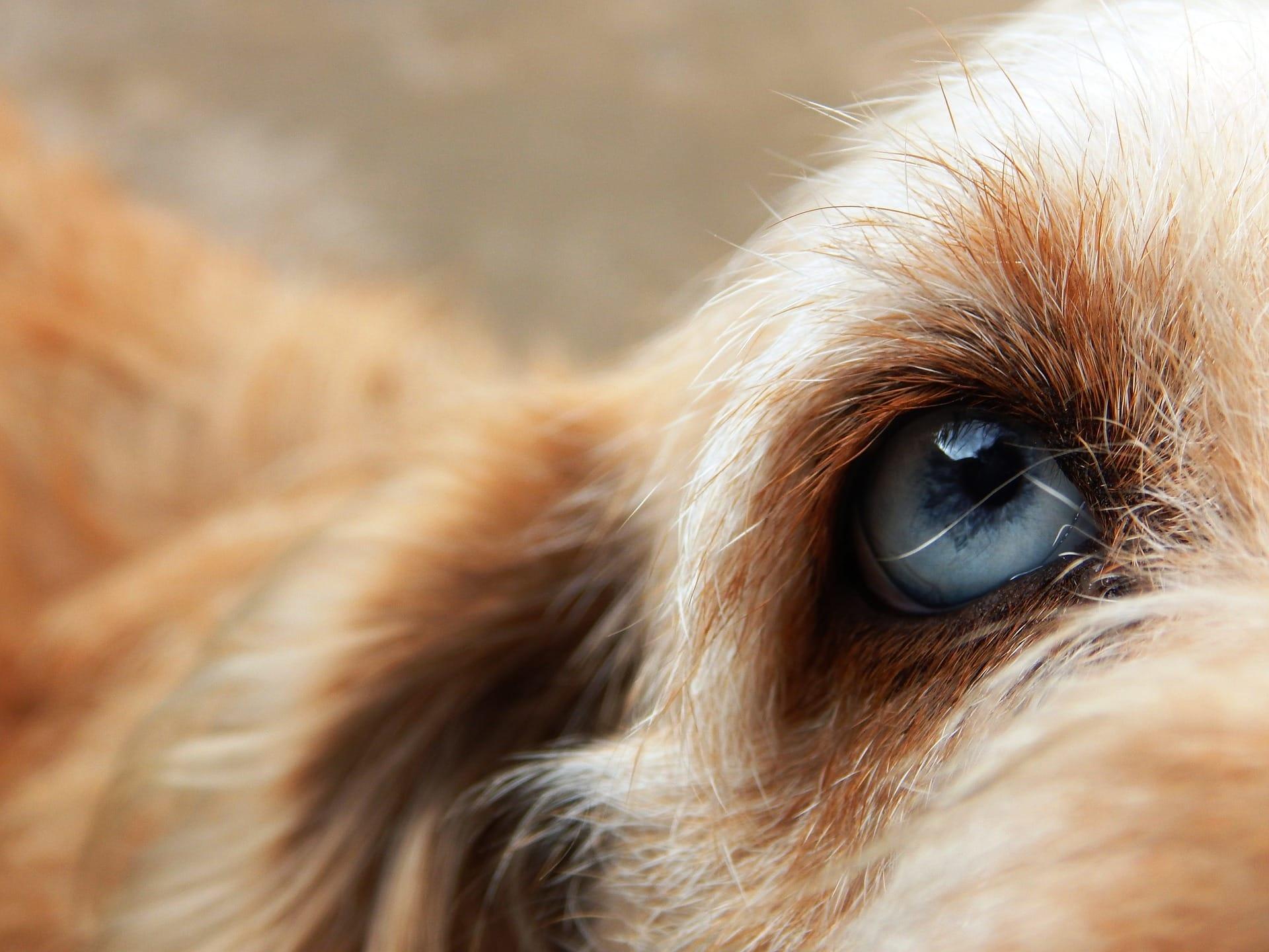 ectropion du chien