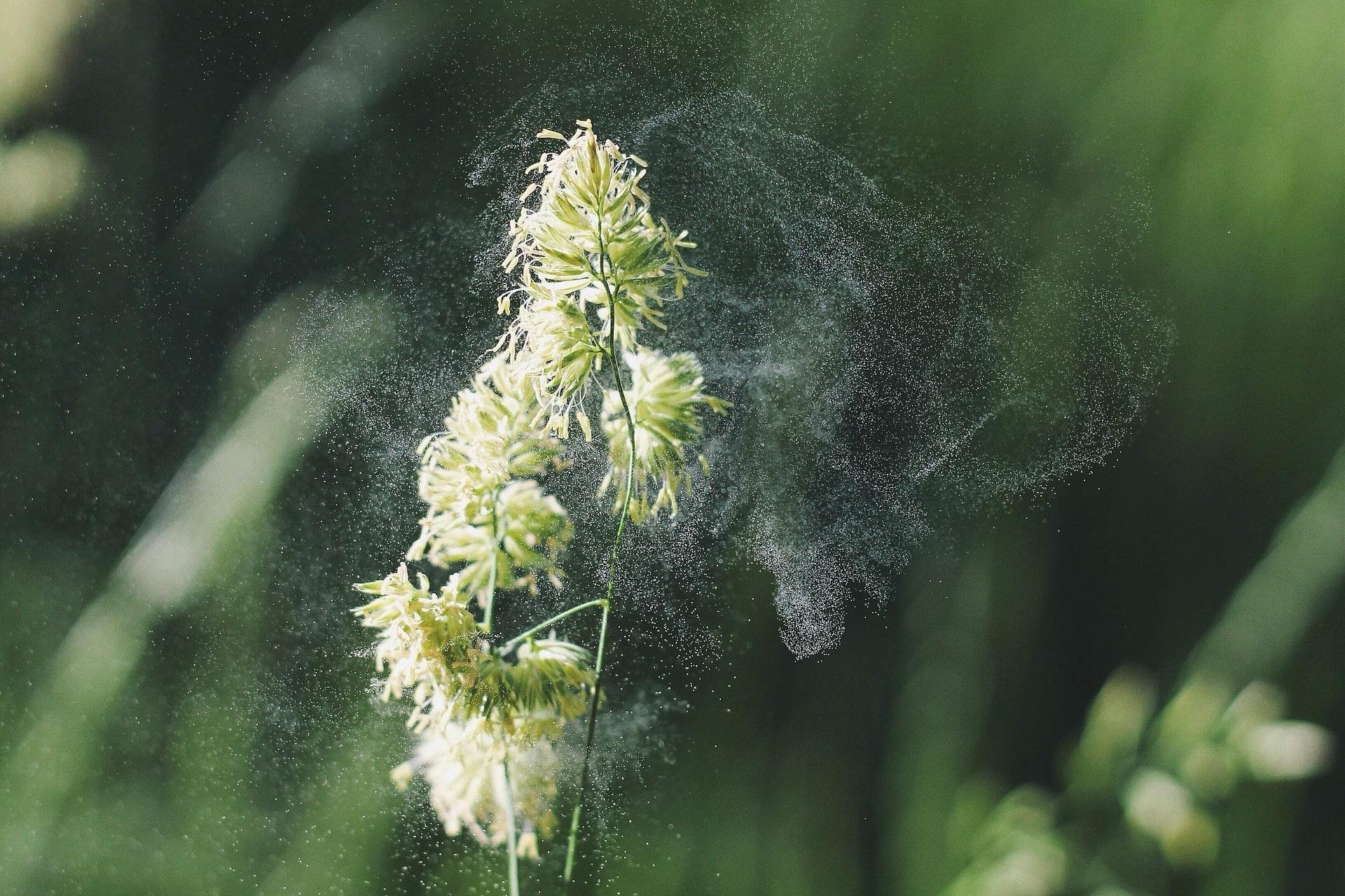 pollen allergie chien